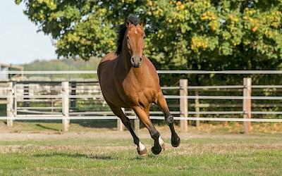 Ein Pferd galoppiert über die Weide