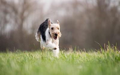 Ein Hund rennt über eine Wiese