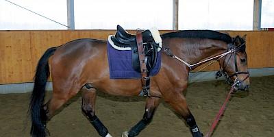 Ein Pferd wird mit dem Hilfszügel DIPO-Trainer longiert