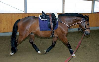 Ein Pferd mit einem angelegten DIPO-Trainier
