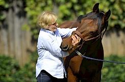 Im Rahmen der Pferde-Reha wird die Osteopathie angewandt