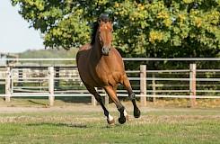 Pferd tobt ausgelassen über die Wiese der Pferdepension
