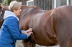 Palpatorische Fähigkeiten sind unabdingbar für Pferdeosteotherapeuten
