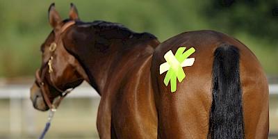 Ein Pferd wurde mit Kinesiotapes behandelt.