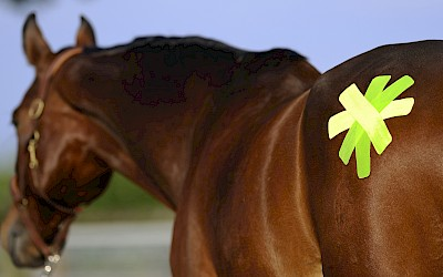 Ein Pferd wurde mit Taping behandelt