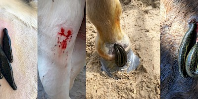 Ein Pferd wird mit Blutegeln behandelt