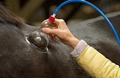 Die Therapeutin wendet ein Schröpfgerät am Pferd an