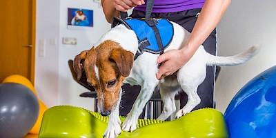 Ein Hund wird physiotherapeutisch behandelt
