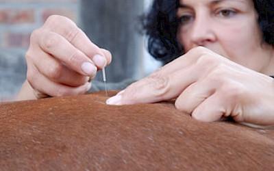 Tierärztin Dr. Kurz behandelt ein Tier mit einer Nadelung