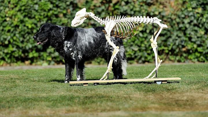 Ein lebender Hund steht hinter einem Hundeskelett