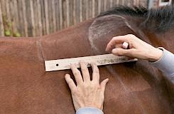 Auf dem Pferd wird markiert, wo der Sattel sitzen muss