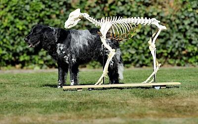 Ein lebendiger Hund steht hinter einem Hundeskelett