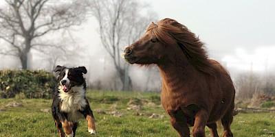 Ein Hund und ein kleines Pony rennen über eine Wiese