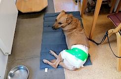 Der Hund ruht nach der Behandlung mit Blutegeln